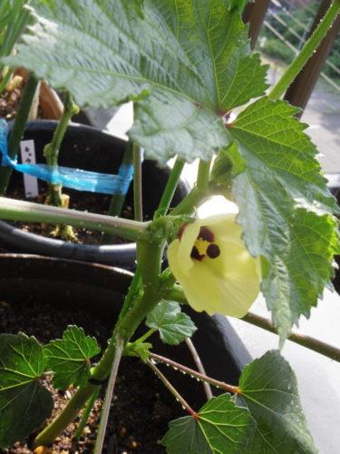 オクラの花の写真